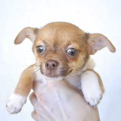 Ice the 16 week old male Chihuahua mix (Immature Animals) Tags: arizona rescue baby chihuahua cute animal animals puppy eyes tucson adorable marshall pima derek bark immature petco petfinder koalition derekmarshall barktucson immatureanimals