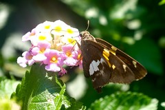 Silver-spotted skipper (pburka) Tags: epargyreus clarus hesperiidae pyrginae centralpark wings insect butterfly flower plant conservatory garden nyc lantana