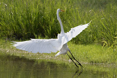 great egret at the pond-74 (Scott Alan McClurg) Tags: aalba ardea ardeidae algae animal back backyard bluesky flap flapping flight fly flying glide gliding glow greategret land landing life nature naturephotography neighborhood pond portrait sky summer sun wetlands white wild wildlife