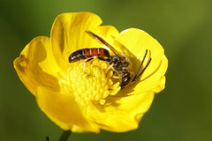 Lasioglossum calceatum / albipes, male - Aalterbrug (henk.wallays) Tags:
