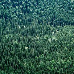Trees Forever (elevatoro) Tags: glacier park montana national tourist outdoors beautiful trip travel leibow august 2016 tress free pattern lush pine mountains gorgeous square