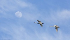 Tundra Swan AT (martinaschneider) Tags: swan tundraswan spring aylmer bird ontario flight flying birds bluesky moon