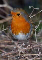 2016_01_0148 (petermit2) Tags: robin erithacusrubecula pottericcarr potteric doncaster southyorkshire yorkshirewildlifetrust wildlifetrust ywt