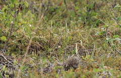 Willow Ptarmigan Chick Above the Arctic Circle Dempster Highway Yukon Canada North America (eriagn) Tags: northamerica canada yukon dempsterhighway dirtroad landscape mountainous taiga muskeg tundra permafrost vegetation geology trees spruce rock gravel erosion weathering remote isoated pristine summer midnightsun arcticcircle sunight overcast wilderness habitat ecosystem eriagn ngairehart dawsoncity eagleplains inuvik farnorth greatnorth geological mountains ranges continentaldivide roadtrip travel photography willowptarmigan