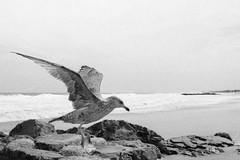 Gull (Dalliance with Light) Tags: sand gull water scans film shore beach ocean asburypark nj standdevelopment rodinalwithxtol tmax400 bw nikonfm2 seagull bird neptunetownship newjersey unitedstates us