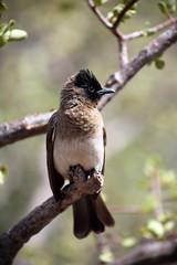 Bulbul, Kruger National Park, South Africa (flowcomm) Tags: bulbul bird krugernationalpark southafrica nature wild africa
