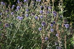 IMG_4595 (ianharrywebb) Tags: edinburgh iansdigitalphotos royalbotanicgardens flowers flower