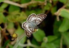 Central American Checkered-Skipper ----Pyrgus adepta (creaturesnapper) Tags: borinquenmountainresort rincondelavieja costarica lepidoptera butterflies hesperiidae skippers centralamericancheckeredskipper pyrgusadepta