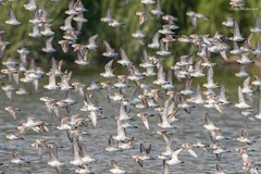Semi-palmated Sandpipers (sbuckinghamnj) Tags: peeps semipalmatedsandpiper shorebird millcreekmarsh newjersey secaucus flock