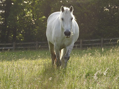 True beauty (Lancashire Lass ...... :) :) :)) Tags: horse evening quote fence white dreamy trees field meadow grass june summer flies