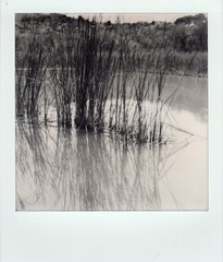 cattails in the verde (EllenJo) Tags: sx70 impossibleproject instantfilm bw blackandwhite polaroid clarkdalearizona verderiver verdevalley ellenjoroberts ellenjo september september19 polaroidsx70 theimpossibleproject instant 2016