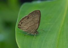 Hermes Satyr ---Hermeuptychia hermes (creaturesnapper) Tags: borinquenmountainresort rincondelavieja costarica lepidoptera butterflies nymphalidae satyrinae hermessatyr hermeuptychiahermes