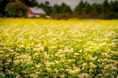flower field  (T.ye) Tags: flower field house red landscape blur bokeh flowers plant yellow white   outdoor flowerbed depth fleld
