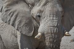 Namibia 2016 (304 of 486) (Joanne Goldby) Tags: africa africanelephant august2016 elephant elephantcloseup elephantface elephants etosha etoshanationalpark explore loxodonta namiblodgesafari namibia safari