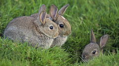 42-18240355 (nataliethaile) Tags: britishisles younganimal mammal animals babyanimal burrow countydurham domesticrabbit england europe few grass greatbritain group groupofanimals westerneurope naturalworld nobody northeastengland rabbit smallgroupofanimals teesdaledistrict three threeanimals uk wildlife