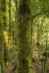 Kelly Basin Forest (deanfosterphotography) Tags: australia kellybasin tasmania landscape moss travel tree outdoor forest