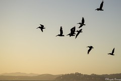 Pelicans over the San Francisco Bay (Joy Forever) Tags: birds pelicans flight flying sun goldengate goldengatebridge sanfrancisco california sky evening sunset silhouette