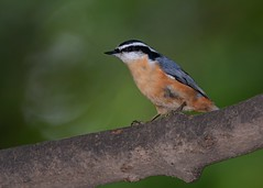 Red-breasted Nuthatch (Explored 9/14/2016) (JDA-Wildlife) Tags: birds nikon nikond7100 tamronsp150600mmf563divc jdawildlife johnny nuthatches nuthatchredbreasted whatbirdbestofday explore explored wow
