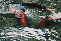 Sockeye Spawn (Zane Torpy) Tags: alaska salmon fish spawn water wildlife stream river cordova red sockeye