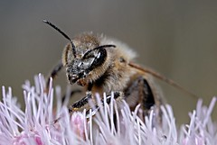 Biene 2 (DianaFE) Tags: dianafe insekt blume pflanze tiefenschrfe schrfentiefe bremse makro freihandmakro biene flgel