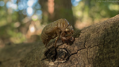 Cicada Shell (Codydownhill) Tags: insect outdoors nature molting cicada bug brown crisp boke log woods forest