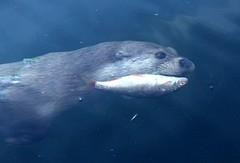 The otter catching herring (Ingrid Friis Photo) Tags: otter utter herring sill fisk