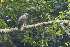 Lesser Fish-Eagle (christopheradler) Tags: malaysia icthyophaga humilis lesser fisheagle