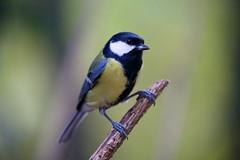 Little Bird (jussitoivanen) Tags: bird bokeh nature