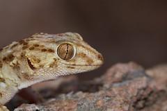 Turner's Thick-toed Gecko  (Chondrodactylus turneri) (piazzi1969) Tags: turnersthicktoedgecko chondrodactylusturneri gecko lizards geckos canon eos 5d markiii ef100mm africa afrika angola wildlife reptiles herps macro