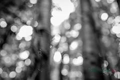 MCG_1049-2 (mikegreen78) Tags: britain british countryside forest leaf leaves stodmarsh woodland woods littlebourne england unitedkingdom gb spider web
