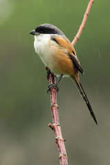 Long-tailed Shrike (Lanius schach schach) (Dave 2x) Tags: rain taiwan raining yilan shrike laniusschach longtailedshrike rufousbackedshrike daveirving laniusschachschach httpwwwdaveirvingwildlifephotographycom