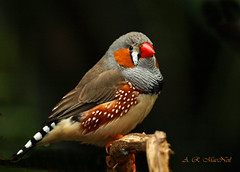 Zebra Finch Poses - Vancouver, British Columbia (Explored) (Barra1man (busy in garden - catching Up)) Tags: orange canada bird nature vancouver pretty britishcolumbia wildlife australia olympus finch tropical zebrafinch bloedelconservatory tropicalbird olympusdigitalcamera mygearandme mygearandmepremium mygearandmebronze