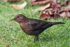 Female Blackbird. (mick revell) Tags: ngc blackbird freedomtosoarlevel1birdphotosonly freedomtosoarlevel2birdphotosonly freedomtosoarlevel1birdsonly freedomtosoarlevel3birdsonly freedomtosoarlevel2birdsonly freedomtosoarlevel3birsdonly