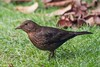 Female Blackbird. (mick revell) Tags: ngc blackbird freedomtosoarlevel1birdphotosonly freedomtosoarlevel2birdphotosonly freedomtosoarlevel1birdsonly freedomtosoarlevel3birdsonly freedomtosoarlevel2birdsonly freedomtosoarlevel3birsdonly