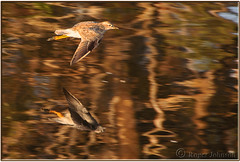 Greater Yellowlegs?? (Romair) Tags: california marincounty sanfranciscobay yellowlegs cortemaderamarsh rogerjohnson
