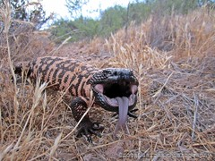 Gila Monster on the 4th of July Early Morning (Crotalusfreak) Tags: wild arizona cactus southwest nature beauty animal mouth landscape photography desert reptile gorgeous teeth awesome lizard angry western wilderness mad gilamonster southwestern venomous desertscape