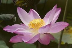 Lotus Blossom (marlin harms) Tags: lotus indianlotus lotusblossom sacredlotus nelumbonucifera