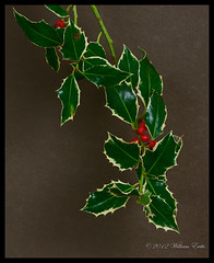 The Majestic Holly - Ilex aquifolium (Bill E2011) Tags: christmas tree nature canon european holly ilexaquifolium