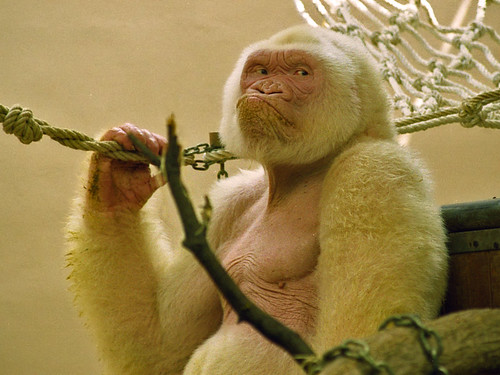 Snowflake - Barcelona Zoo White Gorilla-3