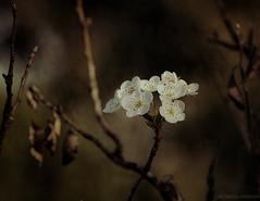 Flor del Manzano. (jesusgag) Tags: flores legacy tatot artistictreasurechest magicunicornmasterpiece sailsevenseas coppercloudsilvernsun exoticimage flowerthequietbeauty
