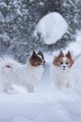 (kodemari) Tags: winter dog snow momo papillon yamato 2012 2shot tamron90 eos60d