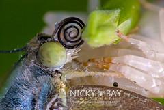 Crab Spider (Thomisus sp.) preying on Lemon Emigrant (Catopsilla pomona) - DSC_9505 (nickybay) Tags: macro spider lemon singapore crab prey pomona pulauubin emigrant thomisus thomisidae catopsilia butterflyhill