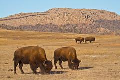 Home on the range ... (Lindell Dillon) Tags: oklahoma canon buffalo wildlife wichitamountains prairie bison americanbison reddirtpics