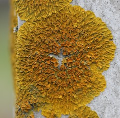 Winter Gold! (Xanthoria parietina, the Golden Shield Lichen) (RiverCrouchWalker) Tags: winter gold december fungus lichen algae essex heybridgebasin xanthoriaparietina foliose apothecia countyofessex goldenshieldlichen parietin