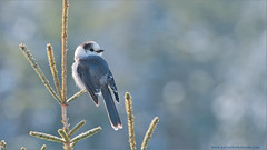 Gray Jay (Raymond J Barlow) Tags: blue ontario canada bird art wildlife gray adventure avian 200400vr nikond300 raymondbarlowtours