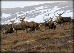 Red Deer Stags (Ally.Kemp) Tags: winter red wild mountains highlands scottish glen deer loch ness stags invernessshire whitebridge