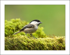 Willow Tit (Poecile montanus) (JOHN CRAWFORD2011) Tags: nature birds woodland britishbirds willowtit titwildlife allofnatureswildlifelevel1 allofnatureswildlifelevel2