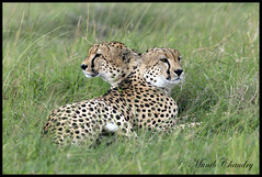 Two Heads are better than ........! (MAC's Wild Pixels) Tags: kenya cheetahs wildcats masaimara mfcc cheetahbrothers goldwildlife slicesoftime maratriangle naturesgreenpeace allnaturesparadise photographyforrecreationeliteclub allofnatureswildlifelevel1 allofnatureswildlifelevel2 macswildpixels