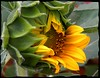 As The Sunflower Begins To Open. (happiehippie50) Tags: red brown white black green yellow 1001nights 100commentgroup 1001nightsmagiccity mygearandme mygearandmepremium mygearandmebronze mygearandmesilver