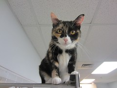 Sophie (Philosopher Queen) Tags: cat chat sophie kitty gato calico shelter adoption ffl